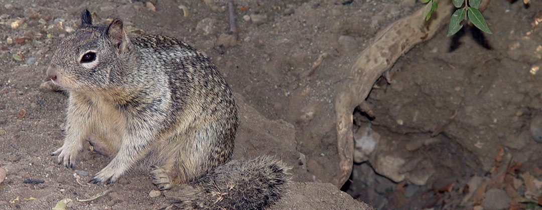 RCO Ground Squirrel Pelleted Bait